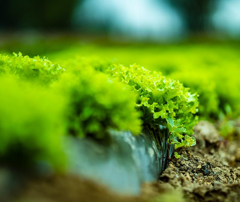 Proyecto fotovoltaico de Fraunhofer Chile busca solucionar golpes de sol en predios agrícolas